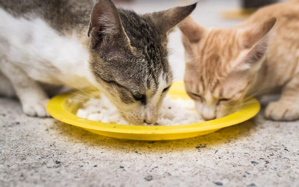 Can Cats Eat Rice? Is It Harmful or Safe for Felines? 1