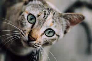 image of feline eyes