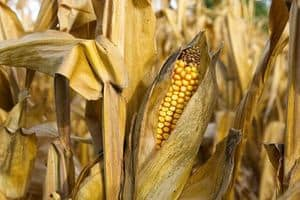 image of corn in the fields