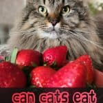 Can Cats Eat Strawberries? Are There Any Benefits?