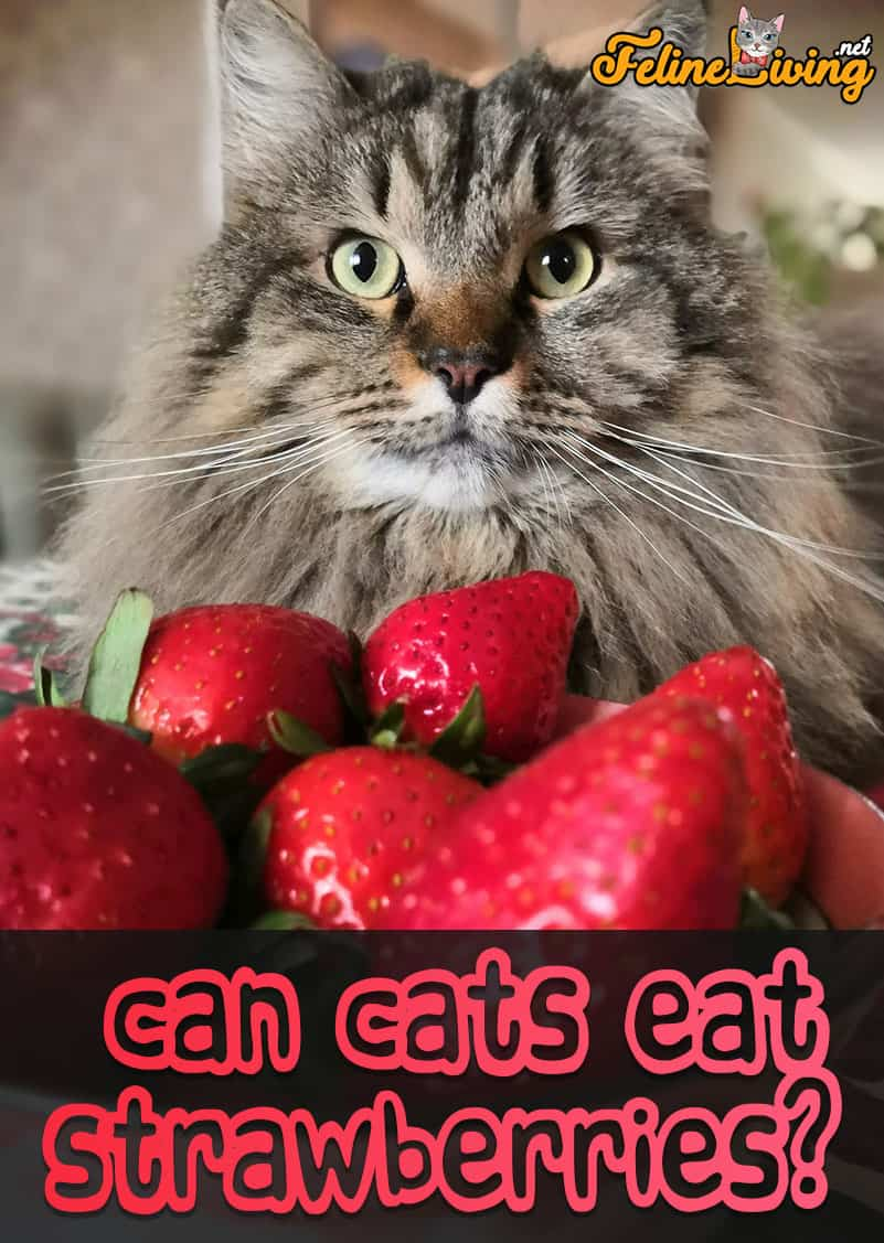 Can Cats Eat Strawberries Best Sweet Treat