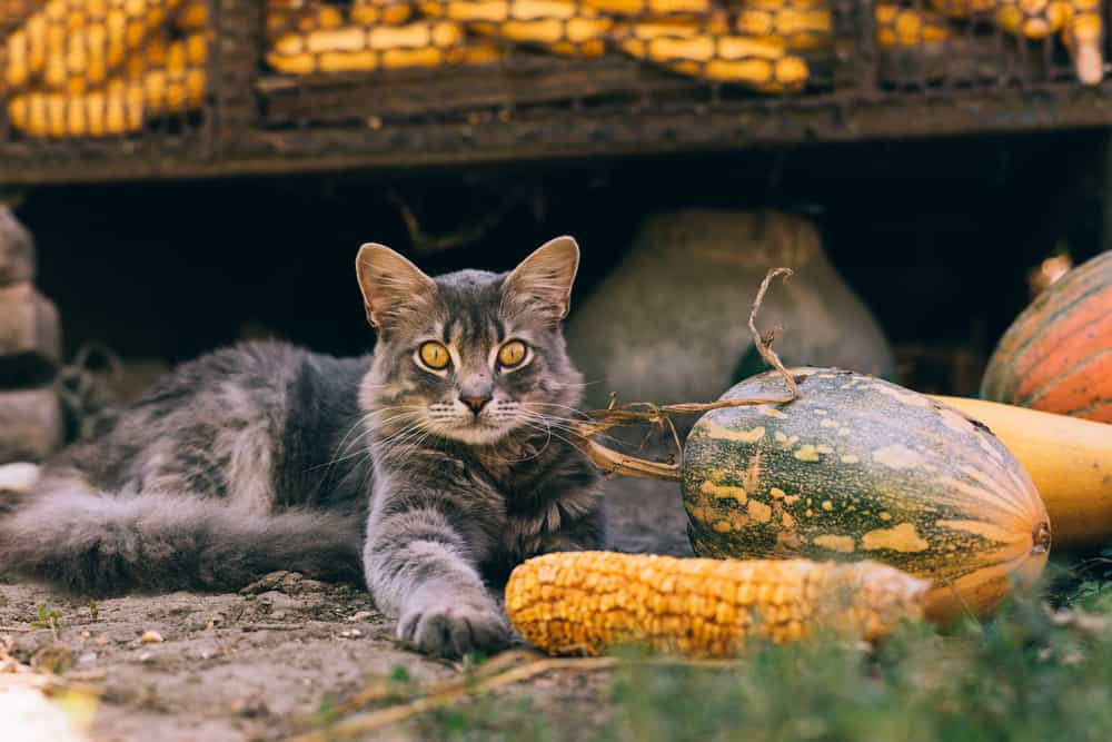 Can Cats Eat Corn Is It Harmful For Your Kitty