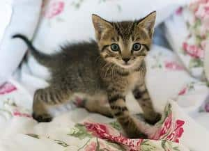 image of a small tabby kitty