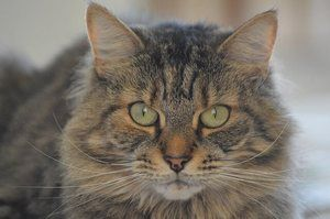 Tabby Cat in close-up