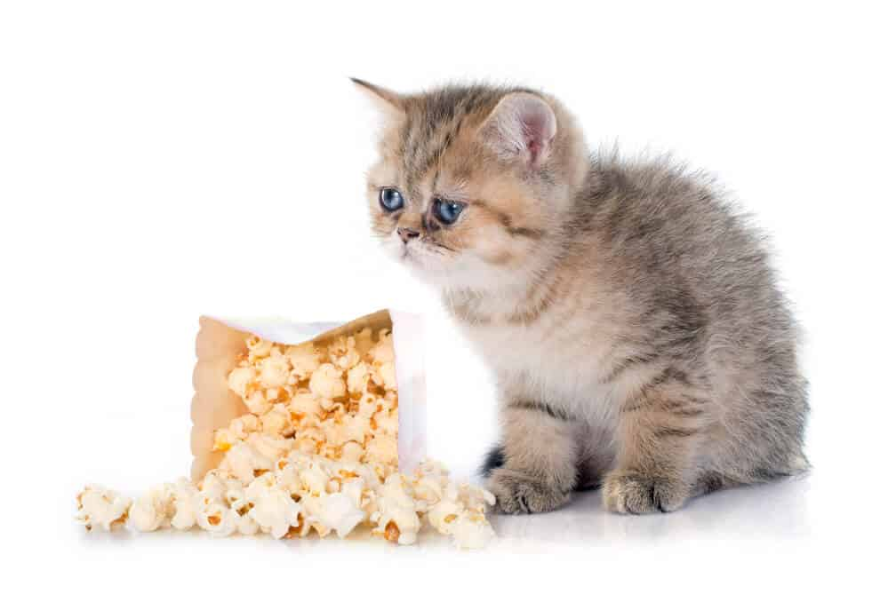 Can Cats Eat Popcorn? Is It Safe For Them Or Not? 1