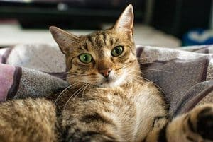 How Do Cats Mate? When Is Their Breeding Season? 4