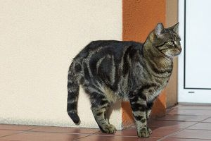 big Tabby Cat in the hall