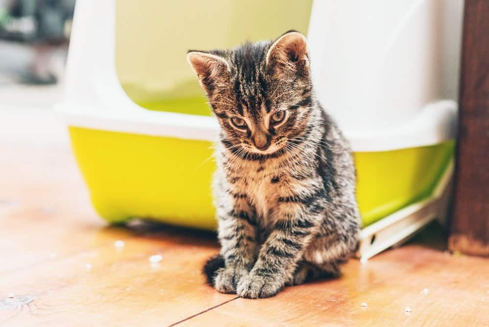 Sleepy pensive little tabby next to a sifting litter box