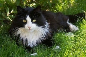 black and white cat lying on the grass