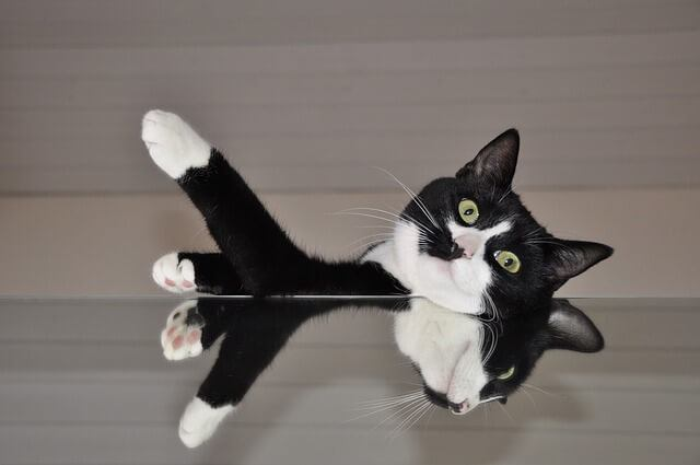 Everything About The Tuxedo Cat - Facts, Genetics and Personality 1