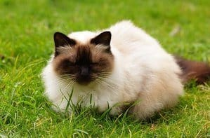 White cat with brown head on the grass