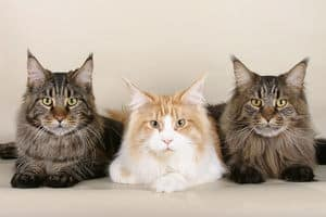image of three long haired cat breeds