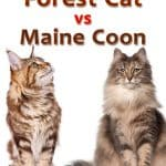 Norwegian Forest Cat vs. Maine Coon: Which is Bigger?