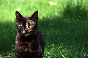 Tabby Cat stands on the grass