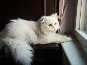 the white cat lies on her stomach and looks out the window