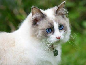 white cat with the blue eyes isolated on blurry green background