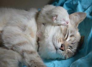 How Do Cats Mate? When Is Their Breeding Season? 3