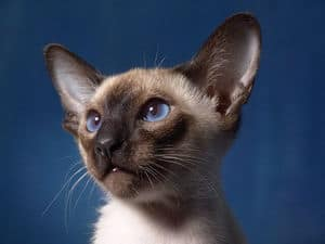 image of a Siamese kitty