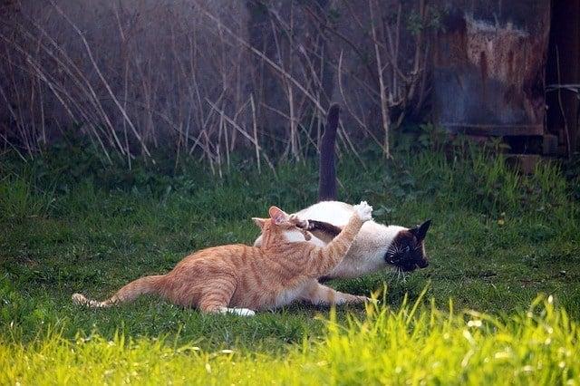 image of two felines fighting