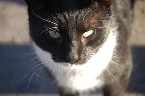 black and white cat in closeup