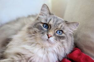 gray cat with the blue eyes lying on the red blancket