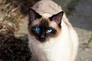 image of a blue eyed Siamese feline