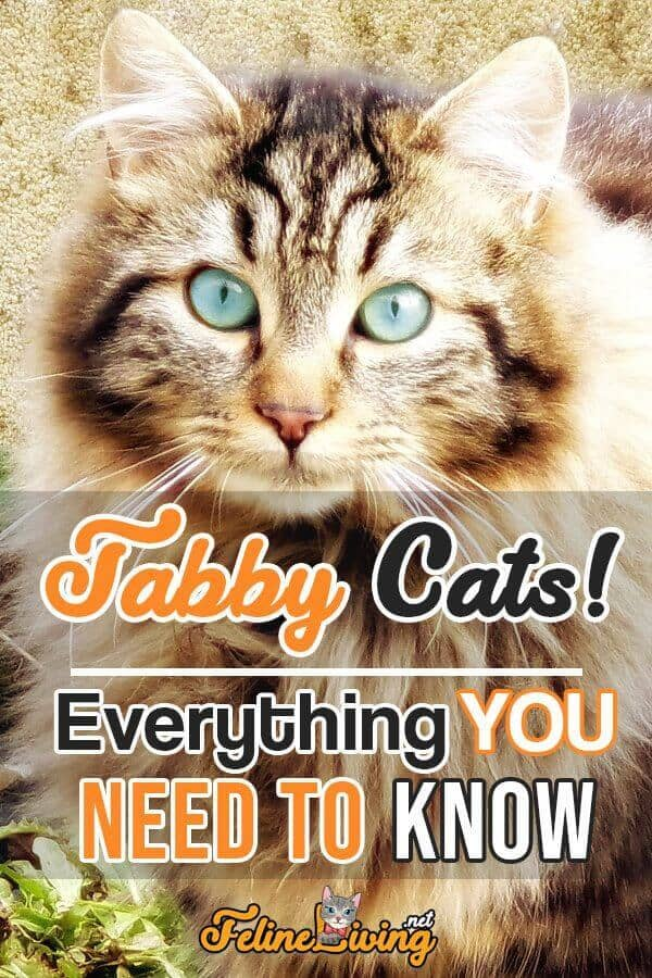 Tabby Cats Patterns, History And Personality