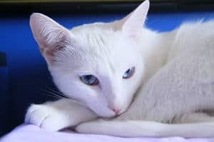 image of an albino kitty with blue eyes