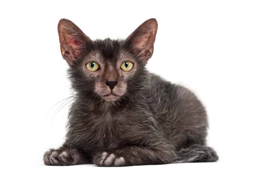 Lykoi Cat Breed, History And Characteristics (Wolf Cat) 1