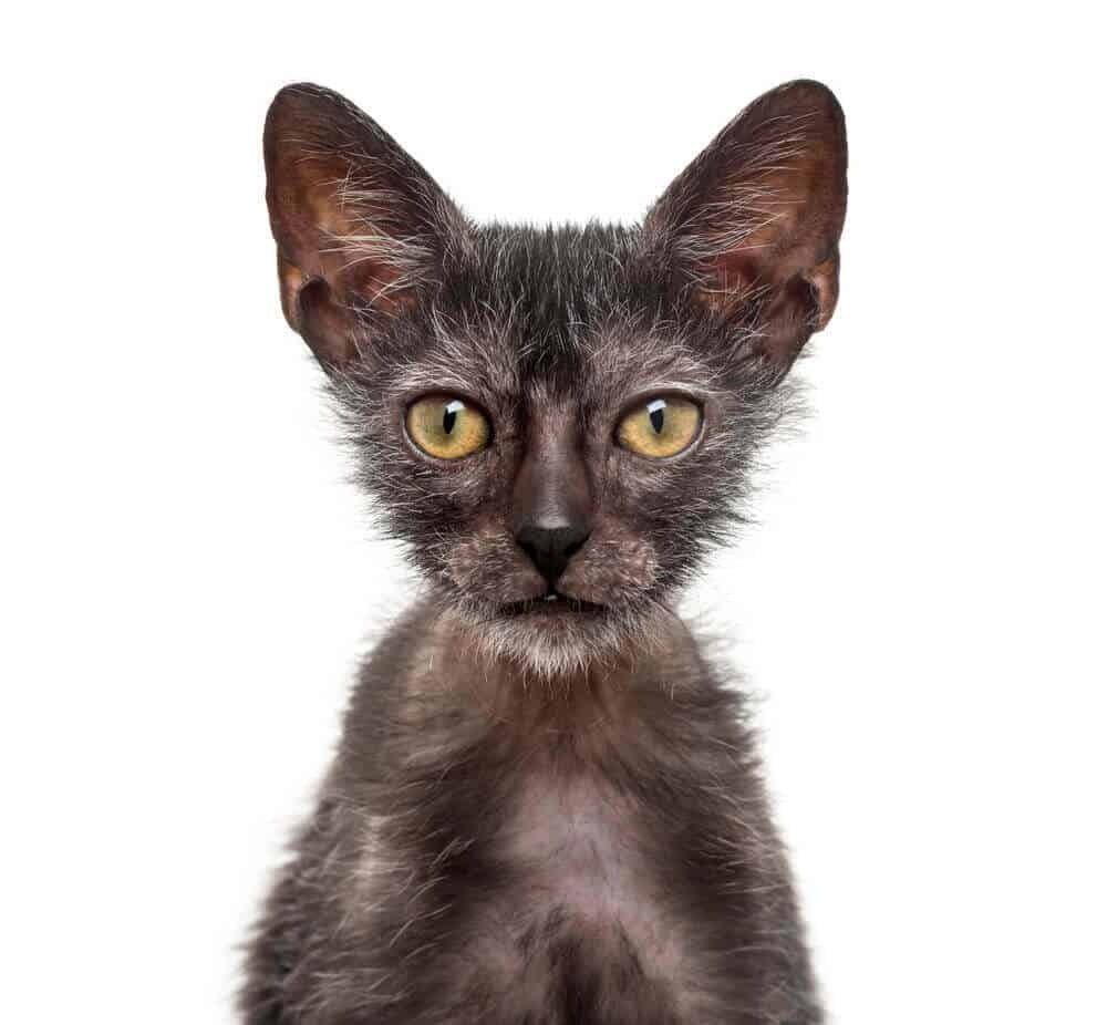 Lykoi Cat Breed, History And Characteristics (Wolf Cat) 3
