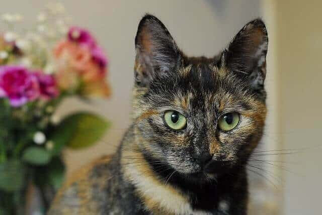 Tortoiseshell Cats Facts, Genetics And Personality 2
