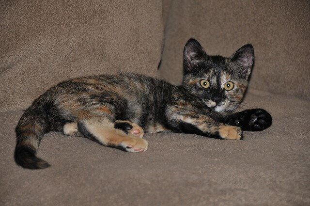 Tortoiseshell Cats Facts, Genetics And Personality 5