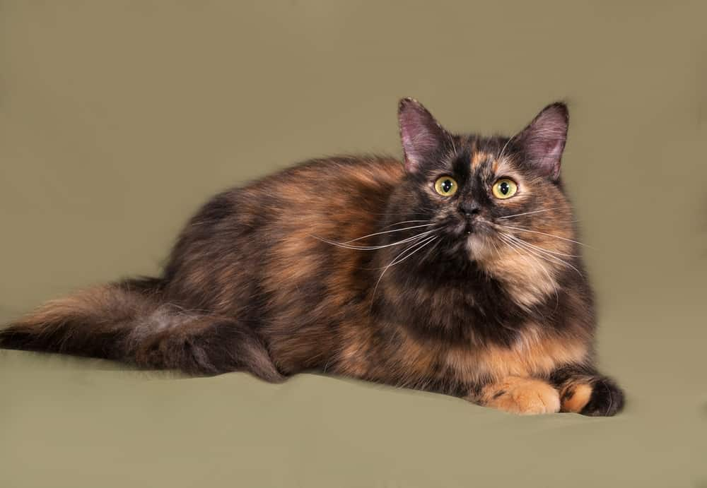 278 Tortoiseshell Cat Names For Unique Feline Beauties 7