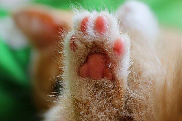 cat limping