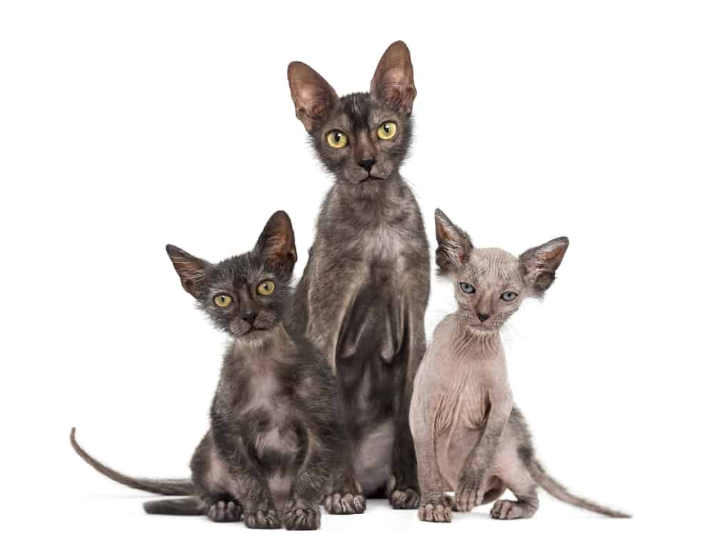 Lykoi Cat Breed, History And Characteristics (Wolf Cat) 2