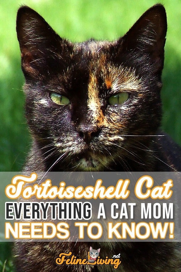 Tortoiseshell Cats Facts, Genetics And Personality
