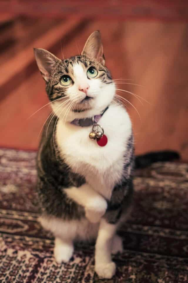 This is Why Your Cat is Limping And How To Help Her 3