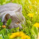 Lysine for Cats - Where to Buy Lysine Powder and Treats?