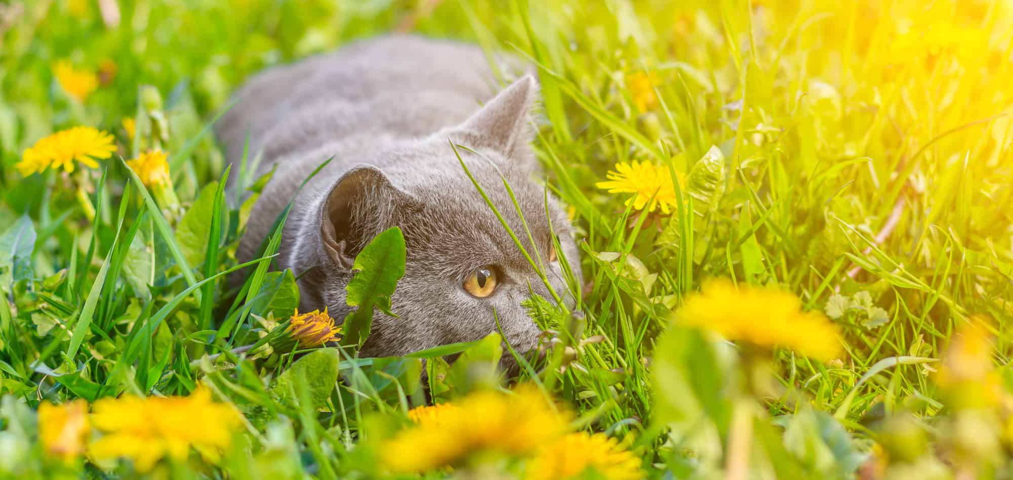 lysine for cats