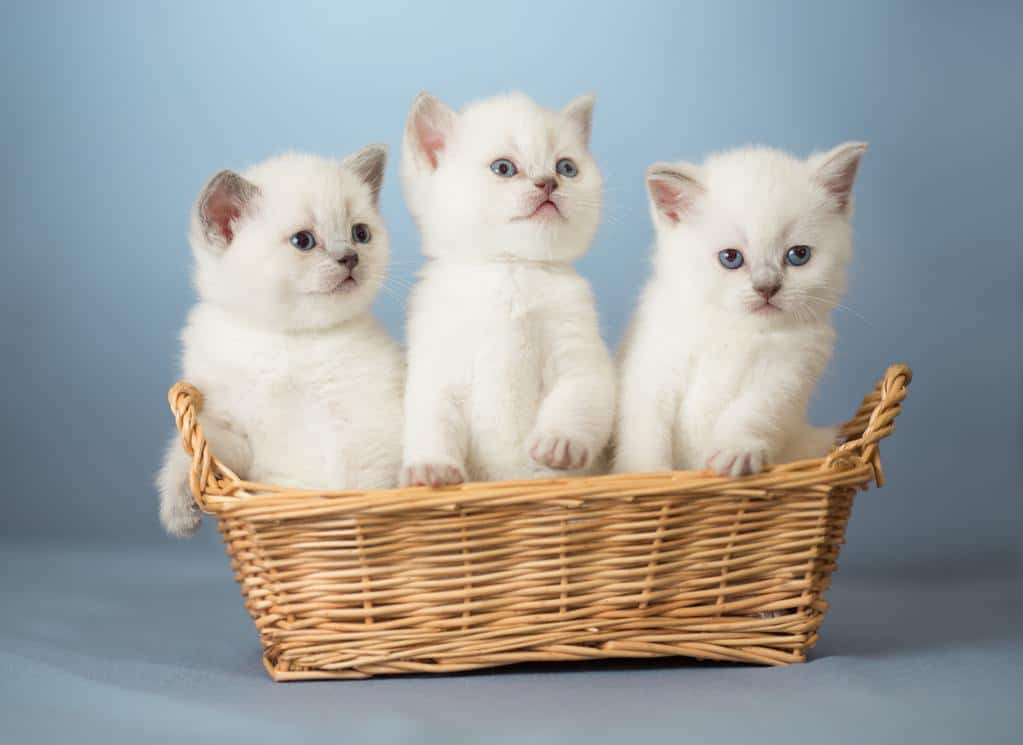 Can Cats Get Parvo? Everything You Need To Know About Feline Parvo 1