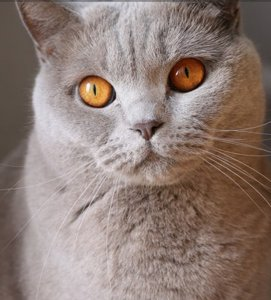 gray cat with yellow eyes in close-up