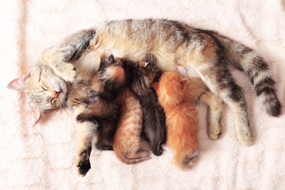 cat pregnancy timeline