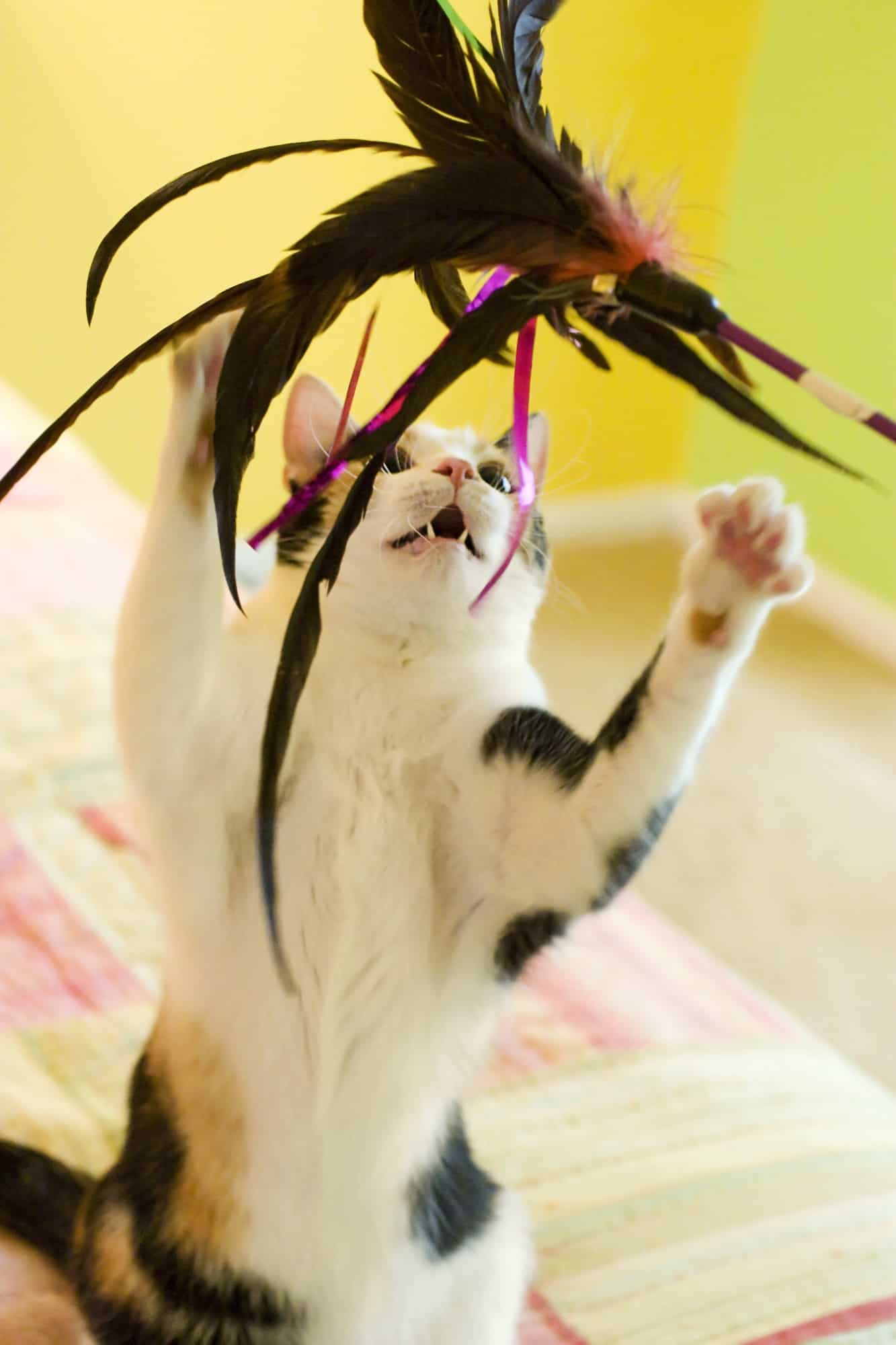A Calico Cat Playing with the best cat toys feather