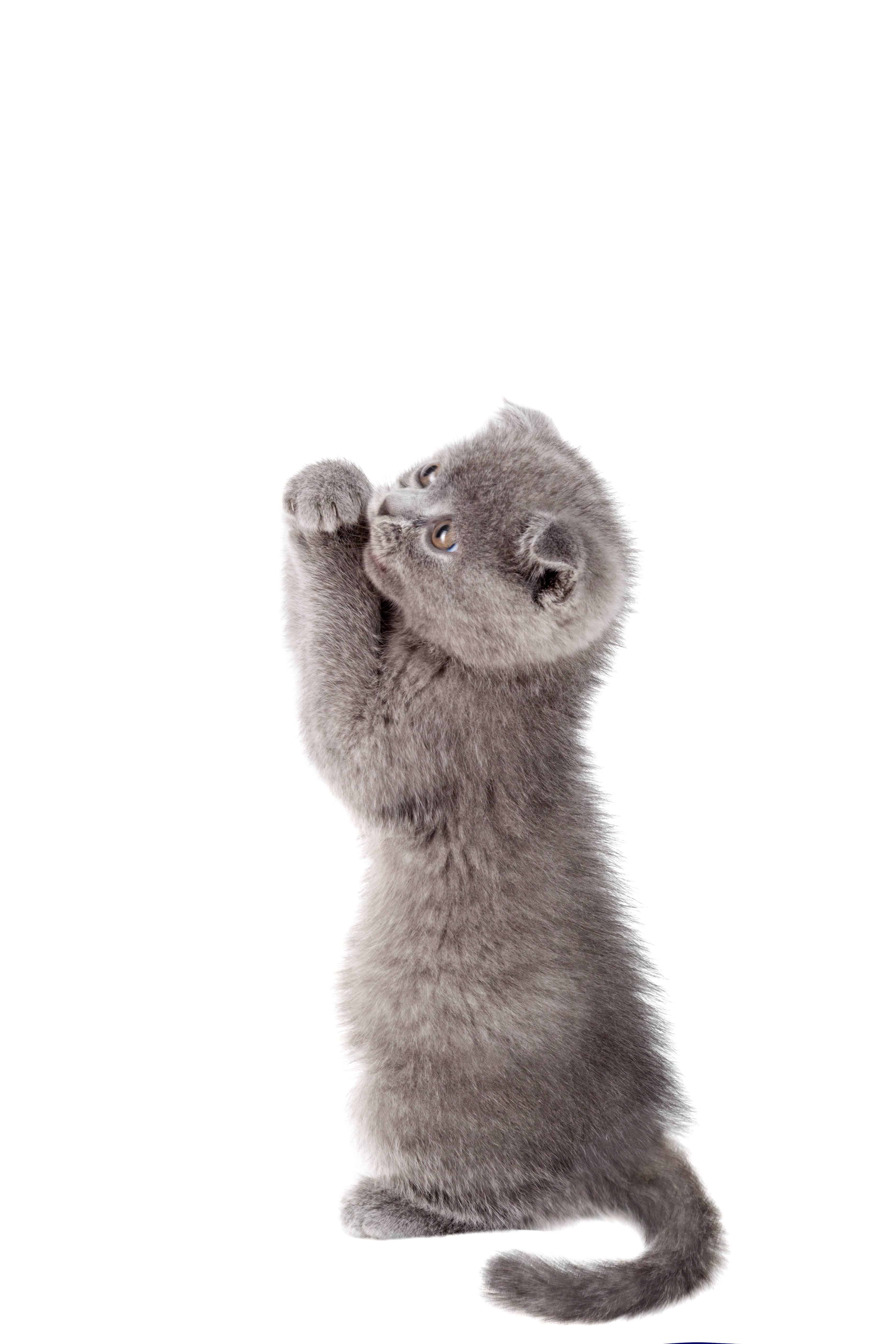 Cute grey kitten asking, isolated