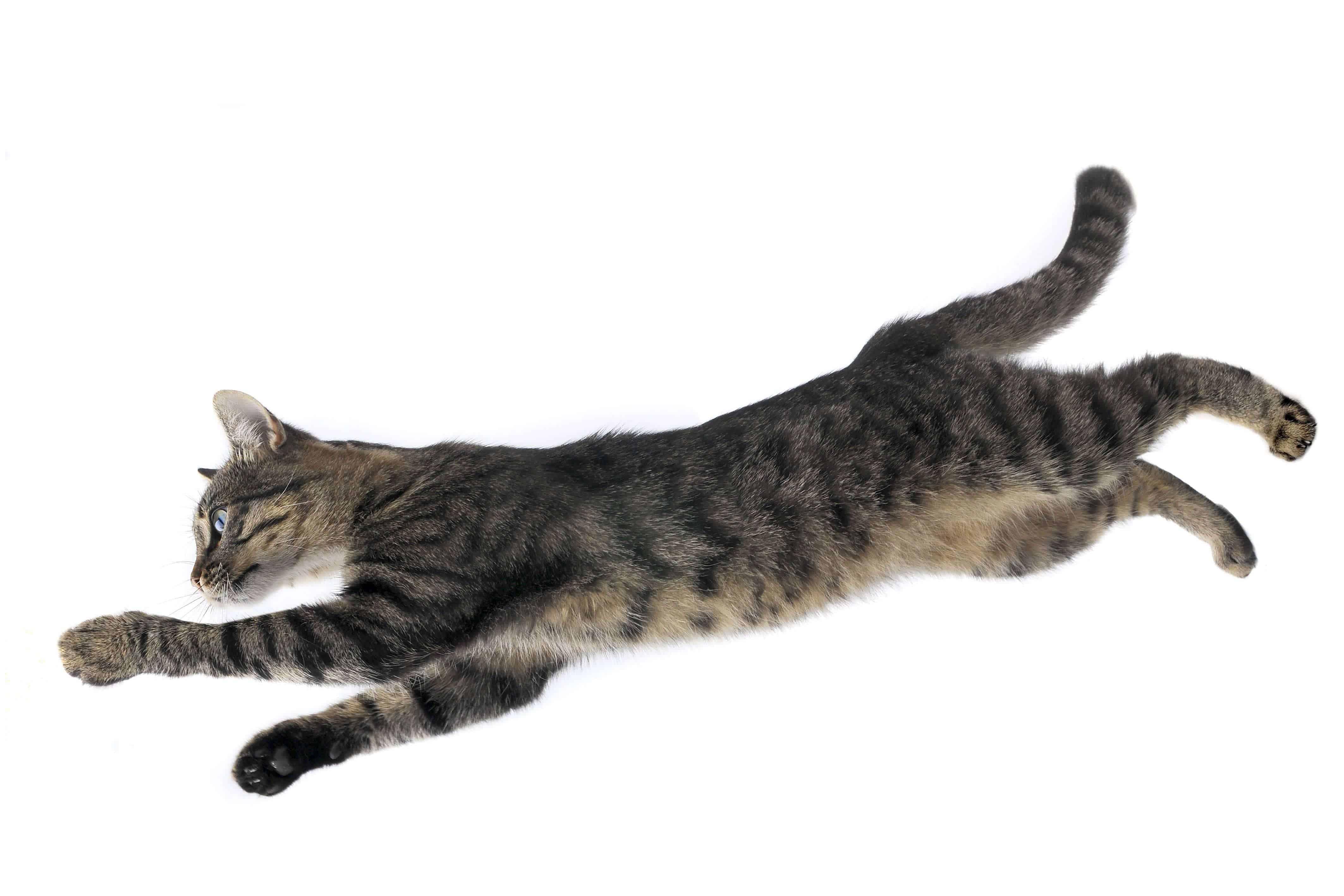 cat in a jump