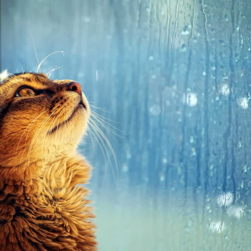 Young somali cat looking in a window in rainy day