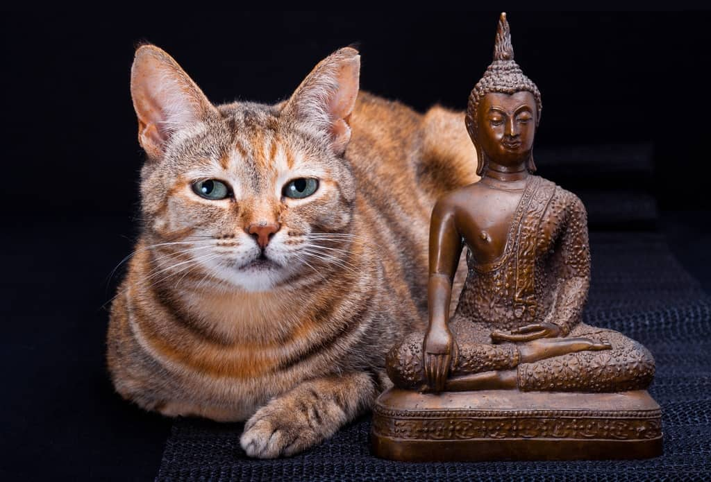 Tabby cat meditating with Buddha Statue