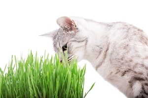 green grass cat Isolated on white background