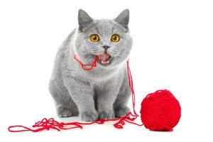 Playful cute young British blue cat chewing red ball of threads (natural cat toy)