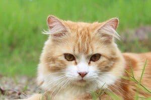 image of an orange kitty